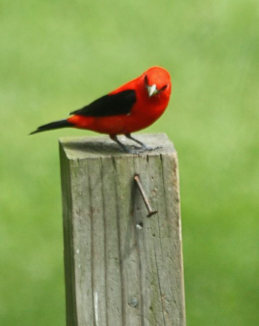 Image of: Cornell Lab This Is Post About Scarlet Tanager Settin On Post Julie Zickefoose On Blogspot Julie Zickefoose On Blogspot Scarlet Tanagerhes Baaack