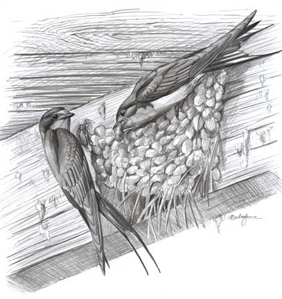 Swallow nest drawing