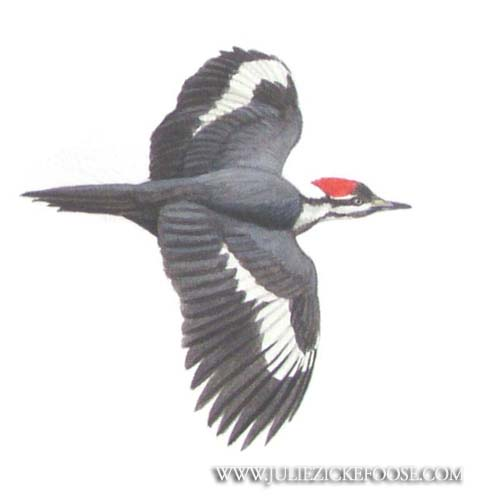 Pileated Woodpecker Drawing Pileated woodpecker